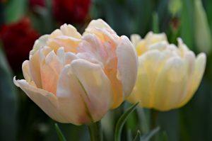 Тюльпаны высадят в районе. Фото: Анна Быкова